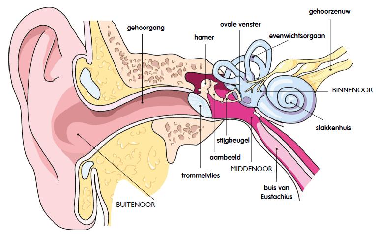 De opbouw van het oor